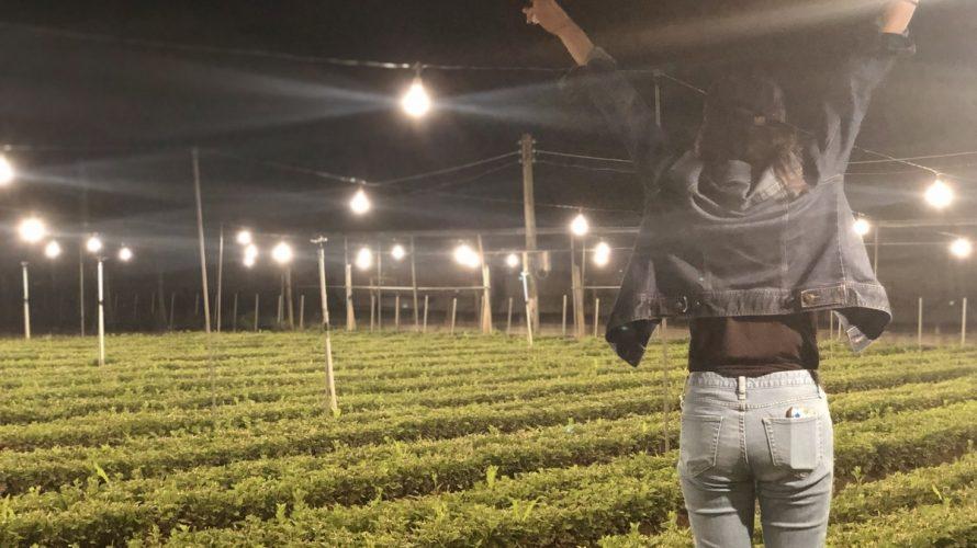 【観光】沖縄県民がオススメする綺麗な電照菊がみれる場所